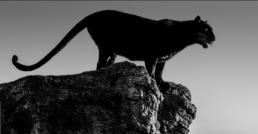 David_Yarrow_Black_Cat_Hilton_Asmus_Contemporary