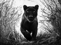 David_Yarrow_Black_Panther_Hilton_Asmus_Contemporary