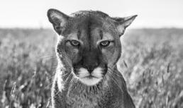 David_Yarrow_Smokey_the_Mountain_Lion_Hilton_Asmus_Contentment