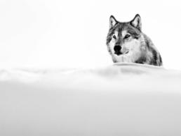 David_Yarrow_The_Focused_Wolf_Hilton_Asmus_Contemporary
