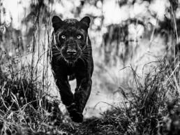 David_yarrow_The_Black_Panther_Returns_Hilton_Asmus_Contemporary