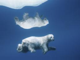 Polar Reflections - Paul Nicklen copy