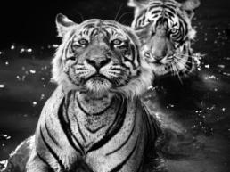 jungle-book-series-david-yarrow-hilton-asmus-contemporary-large