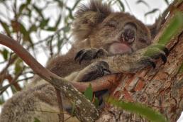 sleeping-koala-bear-3x