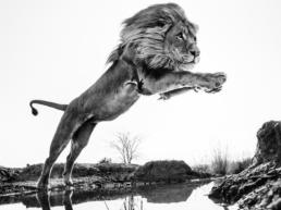 David_Yarrow_Lion_King_Hilton_Asmus_Contemporary